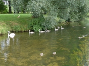 SUMMERTIME. Swans With Their New Family