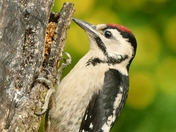 Lesser Spotted Woodpecker.