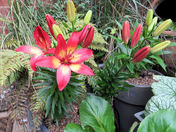 Courtyard lilies