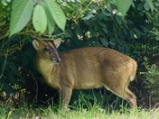 The lovely muntjac!