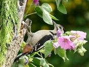 Laid back woodpecker.