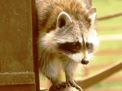 Racoon at Jimmy's farm.