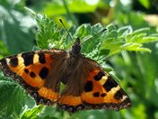 Orcombe Point Butterflies