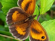 Butterflies Galore at Orcombe Point