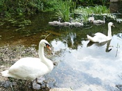 Family of Swans at Bosmere Mill.