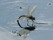 Dragon fly laying eggs.