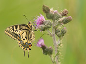 Swallowtail on Thistles.