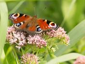 Butterflies of the Broads