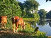 Beautiful Suffolk Punch horses