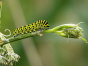 Strumpshaw Swallowtail Caterpillars