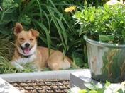 Millie - finding shade in the garden