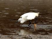 Little Egret at Morston Creek