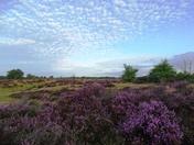 Landscape transformed by heather.