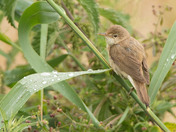 Young Reed Warbler