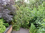 Cherry plum tree blocks pavement in storm