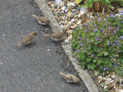 Sparrows eating poppy seeds on our driveway