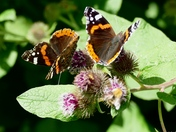 Red Admiral Butterfly on Burdock plant.