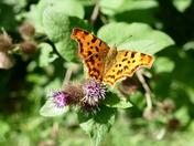 Comma butterfly on burdock plant.
