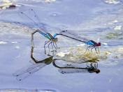 Wildlife on Felbrigg pond