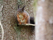 Red Squirrels in Scotland!