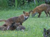 Foxes in my garden