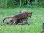 Mother fox feeding her fox cubs in my garden