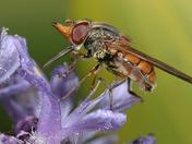 Heineken Fly (Rhingia campestris) - DSC_5601a