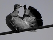 The Pigeon...