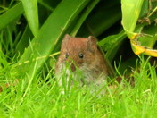 The Bank Vole
