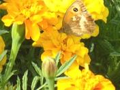 Butterfly on Merigold Flowers