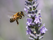 Hover Fly ammongst the lavender