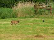 The Chinese Water Deer & the Magpie