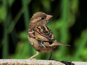 Sparrow on the bird bath