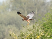 marsh harrier srumpshaw fen