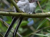 Long Tailed Tits.