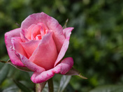 Rose with dewdrop - close-up