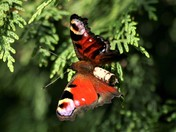 Peacock butterfly takes its first flight