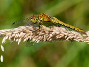 Common Darters.