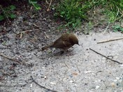 ANOTHER FLEDLING APPEARS IN THE GARDEN