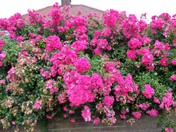 THE BEAUTY OF ROSES IN A FRONT GARDEN