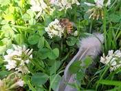 A BEE , CLOVER AND A FEATHER FROM A COLLARED DOVE