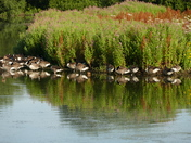 Canada geese reflected in Lackford lakes