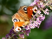Peacock butterfly on Buddleia flowers.