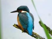 Kingfisher at Lackford lakes.