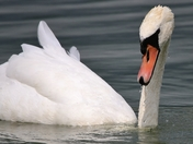 Surfacing Swan!