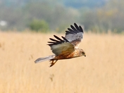marsh harrier strumpshaw fen