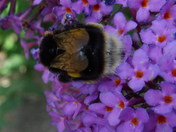 BEES ON A BUDDLEIA