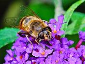 Hoverfly Eristalis tenax on Buddleia