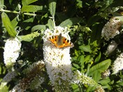 Small Tortoiseshell butterfly enjoying the Buddleja