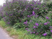 Buddleja lining Rectory road Aldeby
